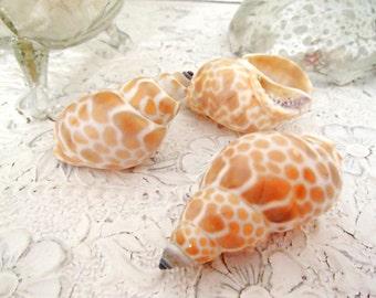 Craft Sea Shells, Beach Decor, Sea Shell Decor - Babylonia Japonica Sea Shells, Set of 6