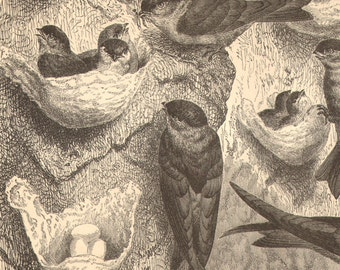 1892 Original Antique Engraving of Glossy Swiftlets