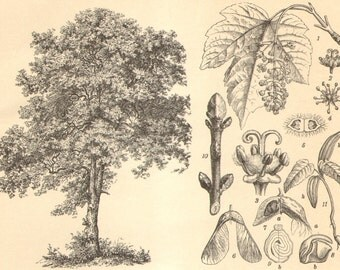 1904 Original Antique Engraving of Deciduous Trees, Sycamore Maple, Aspen, Common Hornbeam, Silver Birch