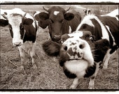Cows, nature photography, Farm Animals, black and white, dairy cows, Funny, Fun, Kitchen, Kids Room, Nursery,  photography Print 8x10