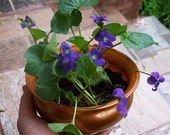 Ready to Ship, 5 Wild Violet Plants, Perennial, Sweet Violet, Organic Violet, Medicinal Plant, Sororia