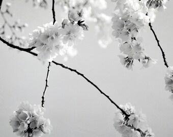 Cherry Blossom Art Photograph Black and White Spring Blossoms Modern Flower Wall Art 8x8