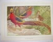 Vintage lithograph Golden Pheasant - BarnshopAntiques
