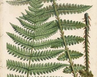 150 Year Old BOTANICAL CHROMOLITHOGRAPH Plate 7 British Ferns Thomas Moore