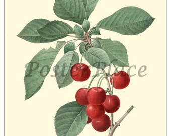 ART CARD - Cherries vintage botancial print reproduction1013