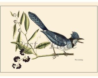 ART CARD - Catesby Blue Jay bird print reproduction 7007