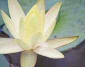Flower Photography - Water Lily Art - White Water Lily - 8x10 Fine Art Photo