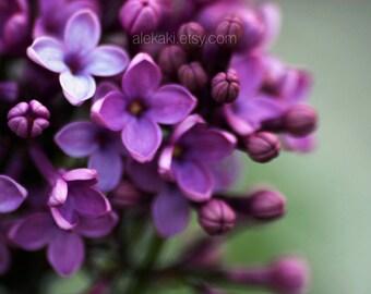Lilacs, flower photography, purple color flower blossoms, home decor, nursery decor, soft focus