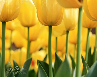 Tiptoed- Bright Yellow Tulips- Flower Photography- Field of Tulips- Yellow Green- Spring Flowers- Nature Photography- 8x12 Fine Art Print