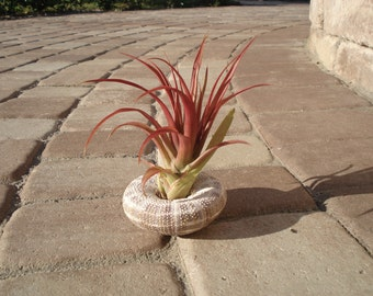 Air plant tillandsia shell planter