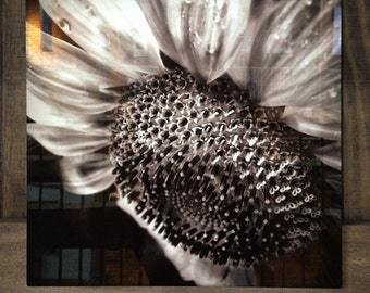 """Hope---A photograph of a sunflower infused onto an 16x16"""" high-gloss metal plate"""