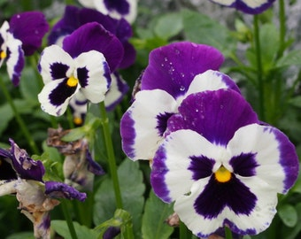 Heirloom 220 Seeds Viola English Violet Wild Pansy Heartsease Violetta Flower Bulk Seeds S5120