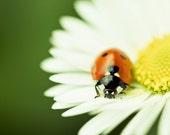 Nature Photography, Ladybug Macro Photograph, Daisy Flower Closeup, Canvas Print, Photo Paper Print, Macro Photography