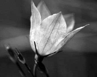 Glowing Flower in Black and White - Nature Photography