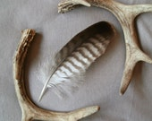 Genuine English Common Buzzard Feather