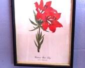 Vintage Western Red Lily Botanical Print in Original Frame