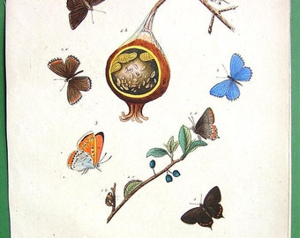 BUTTERFLIES of Genus Polyommatus Insects Order of Lepidoptera - 1836 H/C Color Antique Print