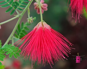 Red Fairy Duster (FREE Shipping in the U.S.only)--customized card, print or canvas