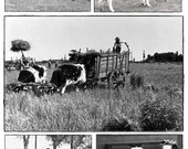 Set of 5 Cattle black / white photograph postcards - set of 5 - FIRST CLASS