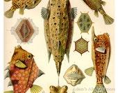 Fish Poster, Ernst Haeckel Fish Art Print, Art Nouveau Natural History Scientific Illustration Wall Art, Wall Hanging, Marine Life Art, Fish