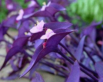 4 Premium Purple Wandering Jew, Perenniel Young Plants