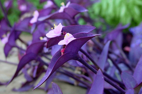 3 purple heart plants tradescantia pallida out indoor - Wandering jew plant name ...
