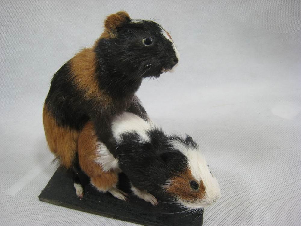 guinea pig online dating