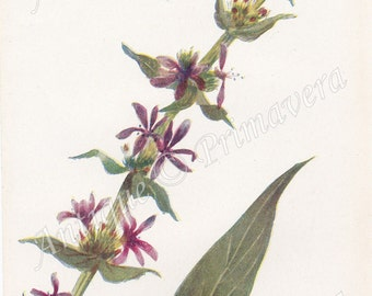 1910 Lovely Purple Loosestrife - Lythrum Salicaria Antique Coloured Plate