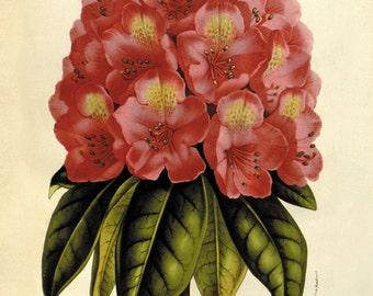 Rhododendron antique Botanical Art Prints flower art print vintage Home Decor Wall Art French art Victorian art Garden Wall Art old prints