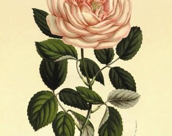 Pink Rose antique Botanical Art Prints Home Decor Wall Art Victorian art Garden Wall Art Vintage prints1800s Victorian rose flower art print