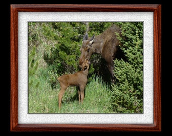 Moose Print - 8x10 or 11x14 Moose Photograph - Wildlife Photograph - Wildlife Print - Moose Art (P35)