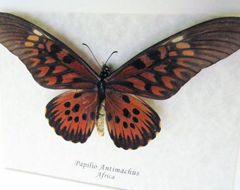 Giant Worlds African Widest Wingspan Papilio Antimachus Real Butterfly Display