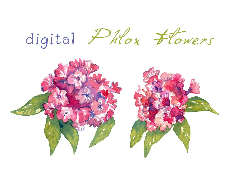 digital clipart watercolor phlox flowers flower clipart