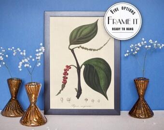 "Vintage illustration of Black Pepper - framed fine art print, botanical art, 8""x10"" ; 11""x14"", FREE SHIPPING  066"