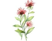 Bee Balm Floral Botanical Print Illustration Watercolor Garden Spring Home Decor Burgundy Red  Green Handmade Monarda