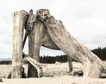 Photo print of gnarled driftwood roots with pine tree background