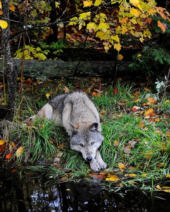 Gray Timber Wolf Lying By Pond In Autumn Leaves 8x10 Wild  Gray Timber Wol...