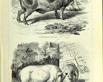 1895 German Back-to-Back Antique Engraving of Pig Breeds