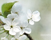 cherry flowers photography, 8x12 flower photo, nature photography, mint, green, white, cream, garden photography, nature wall decor