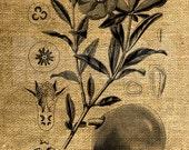 INSTANT DOWNLOAD Pomegranate Vintage Illustration - Download and Print - Image Transfer - Digital Sheet by Room29 Sheet no. 908
