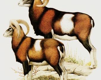 Vintage BIGHORN SHEEP print.  MOUFLONS, nice mountain goats