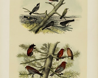 1881 antique BIRDS of NORTH AMERICA lithograph, Singin Birds, 131 years old gorgeous largue print.