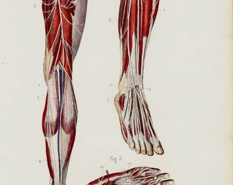 1843 Antique ANATOMY print, musculoskeletal system of the legs, foot, leg,toes, nervous system. 170 years old print