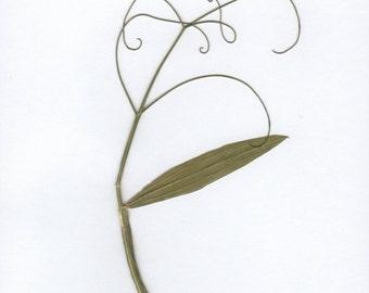 Pressed Flower Art Print Vine