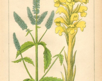1893 Horsemint and Yellow Broomrape Original Antique Chromolithograph to Frame