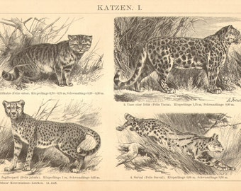 1896 Felids, Cats, Big Cats, Leopard, Cheetah, Serval, Wildcat, Lynx, Jaguar Original Antique Engraving to Frame