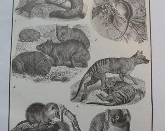 Sepia print -  Marsupials - 1911