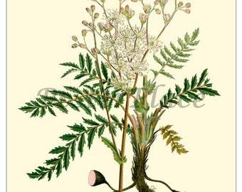 Dropwort antique ART CARD - botanical print reproduction 289