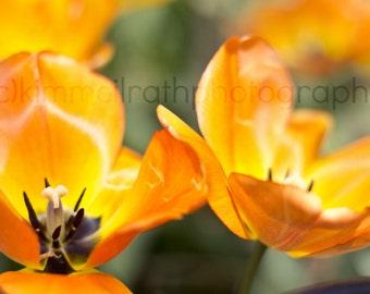 Digital Download - Fort Tryon Orange Tulips
