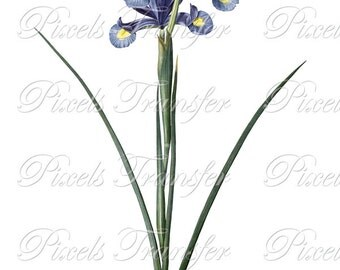IRIS Instant Download digital clipart, spring flowers white blue irises, digital download Redoute no.242